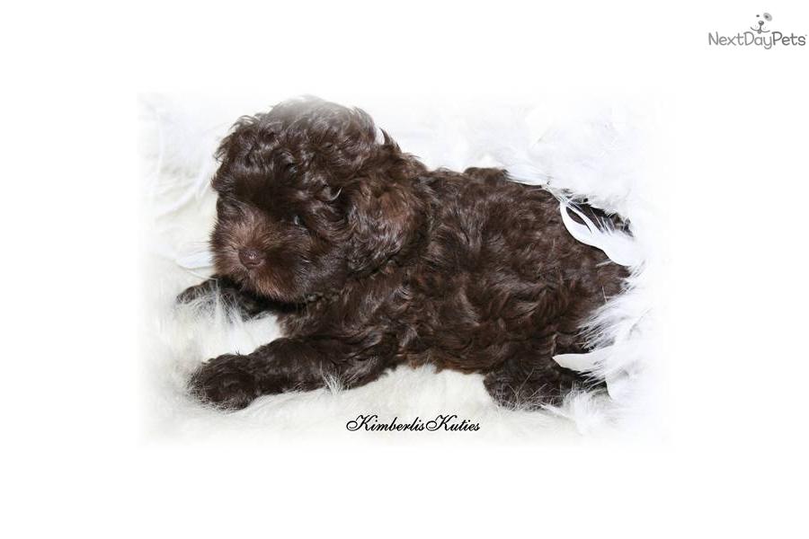 Meet Chocolate A Cute Shih Poo Shihpoo Puppy For Sale