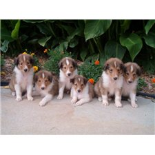 View full profile for Cook's Collies