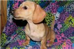 Picture of AKC EE Red/Cream Dapple, Ready Now Are You