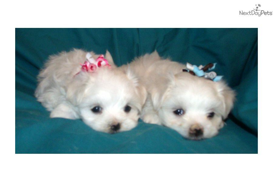 Puppies For Sale In Albuquerque >> Maltese Puppies Maltese Puppy For Sale Near Albuquerque