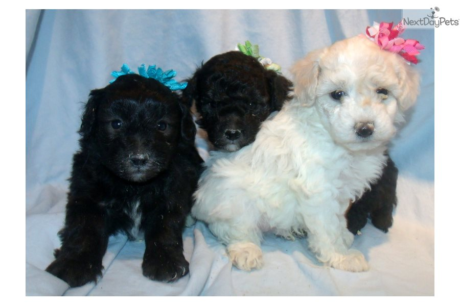 Puppies For Sale In Albuquerque >> Sweetbaby Malti Poo Maltipoo Puppy For Sale Near