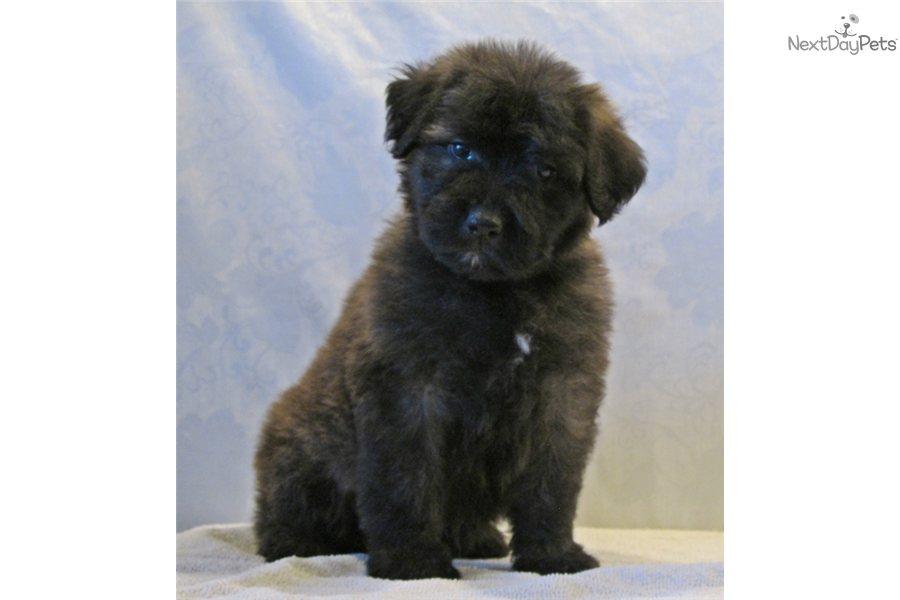 Bouvier Des Flandres Dog Breed Information Pictures ...