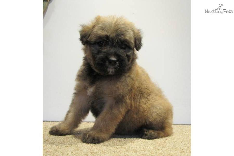 Bouvier Des Flandres puppy for sale near Southeast ...