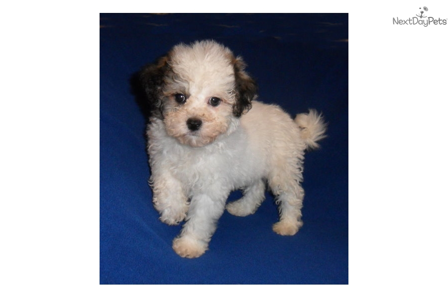 Ronny: Bich-Poo - Bichpoo puppy for sale near Akron / Canton