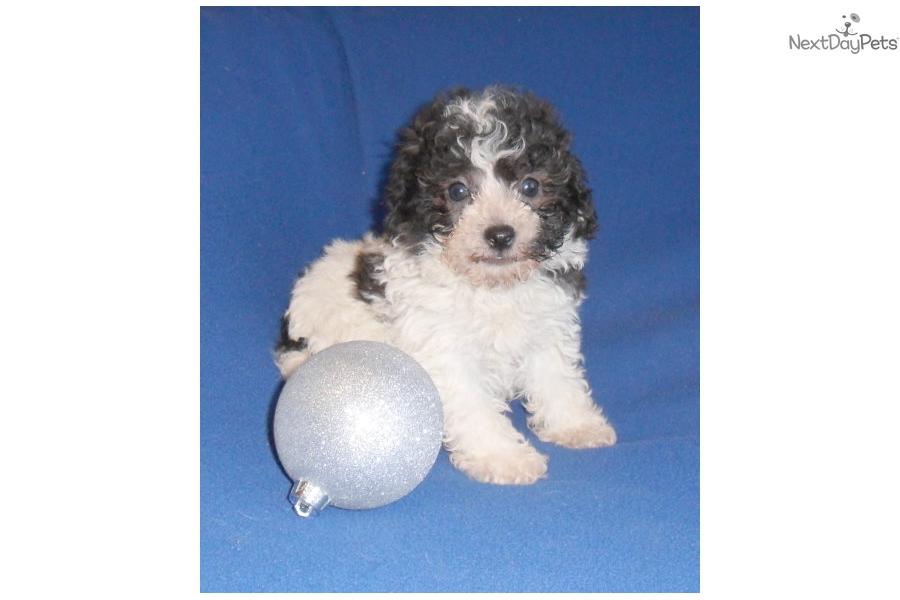 Comet: Bich-Poo - Bichpoo puppy for sale near Akron / Canton
