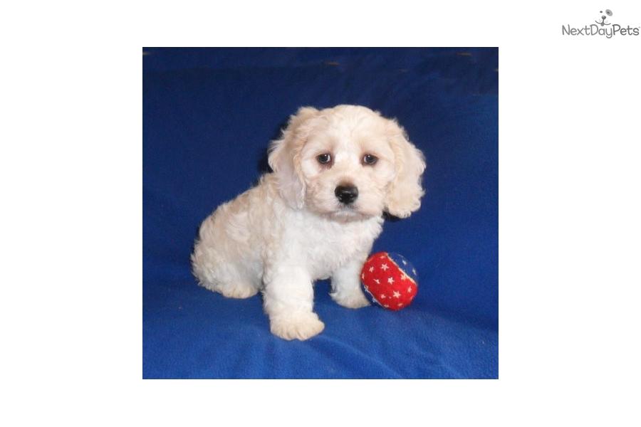Sonic Cockapoo Puppy For Sale Near Akron Canton Ohio 783466de Fcb1