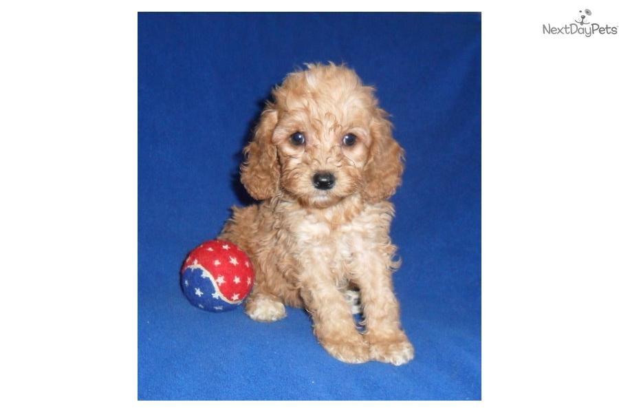 Rudy: Cockapoo puppy for sale near Akron / Canton, Ohio ...