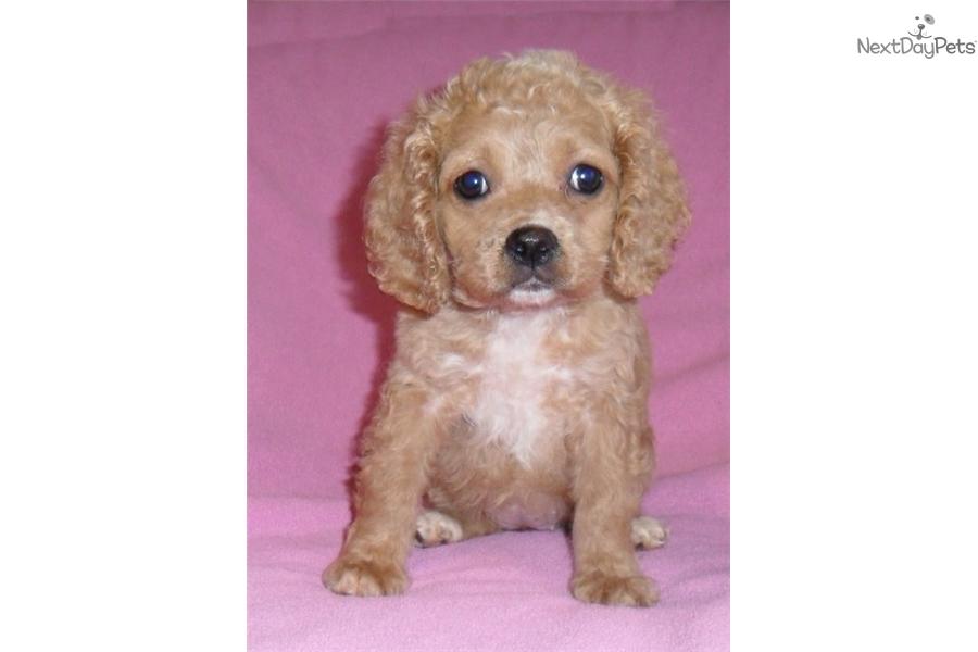 Candy Cockapoo Puppy For Sale Near Akron Canton Ohio 73998fbc C3d1