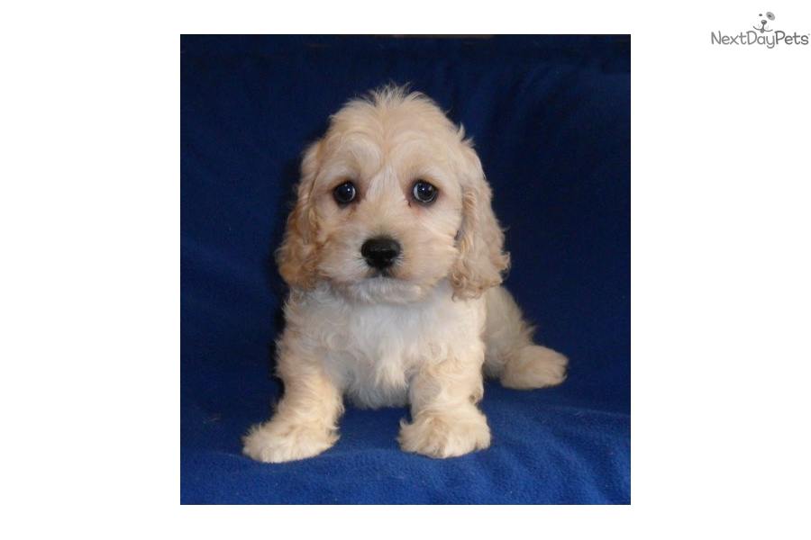 Banjo Cockapoo Puppy For Sale Near Akron Canton Ohio D7630d21 A1d1
