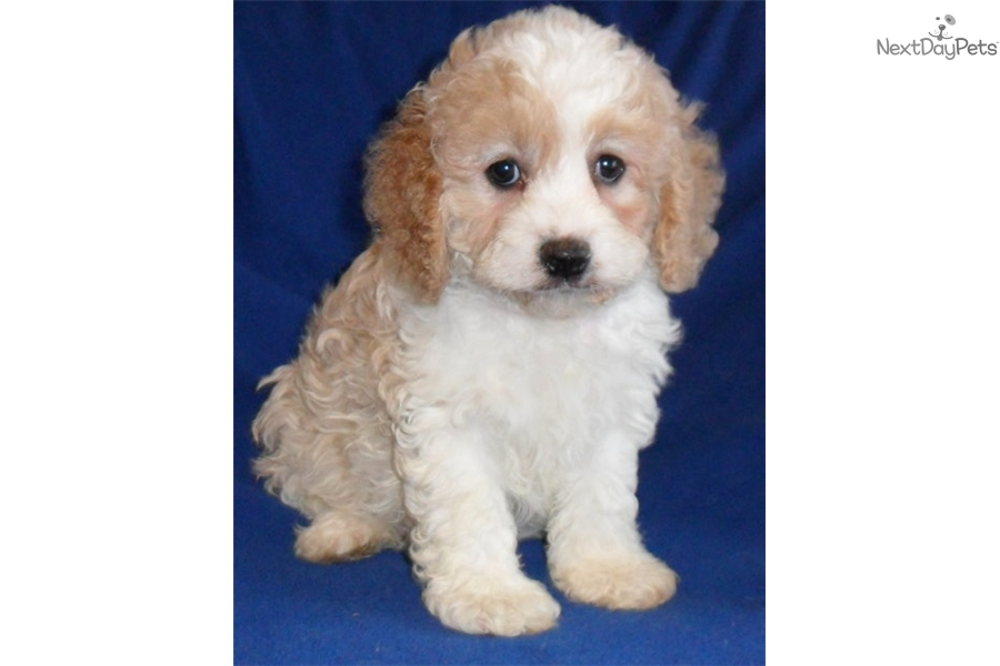 Bentley Cockapoo Puppy For Sale Near Akron Canton Ohio