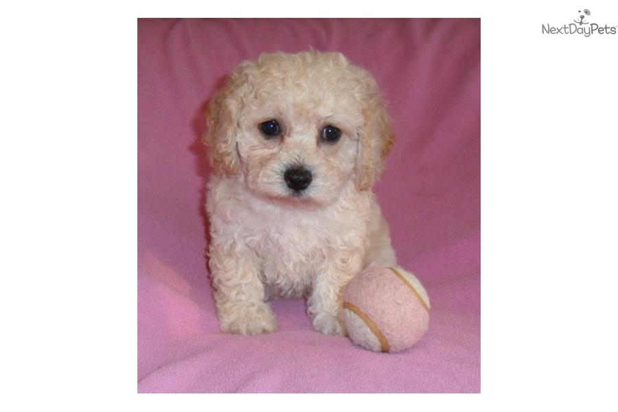 Melody Cockapoo Puppy For Sale Near Akron Canton Ohio D60463aa