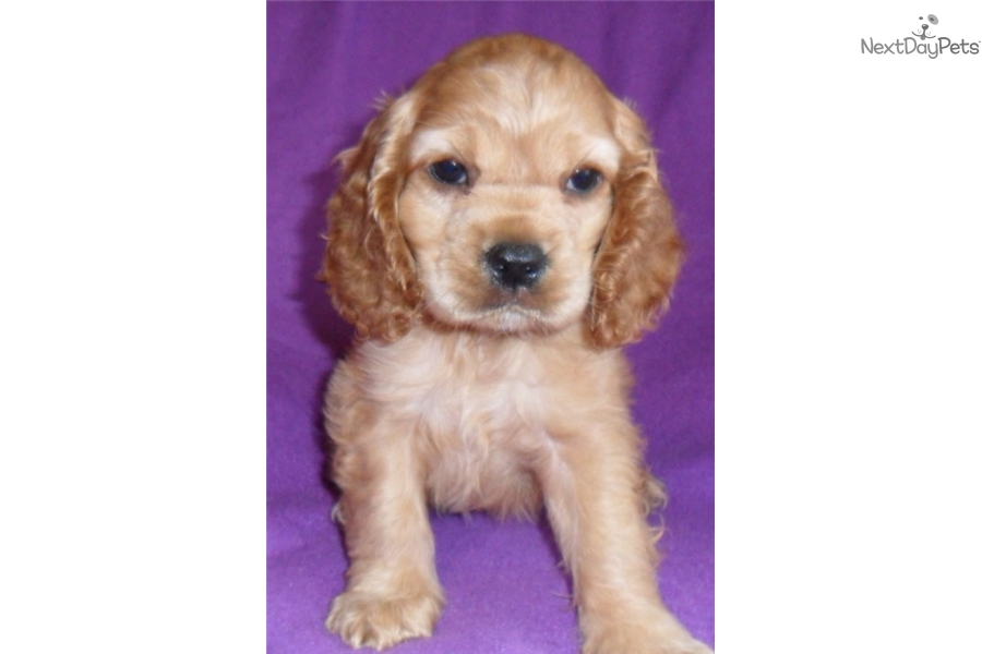 Missy Cocker Spaniel Puppy For Sale Near Akron Canton Ohio