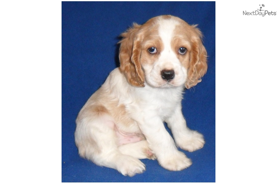 Dudley Cocker Spaniel Puppy For Sale Near Akron Canton Ohio