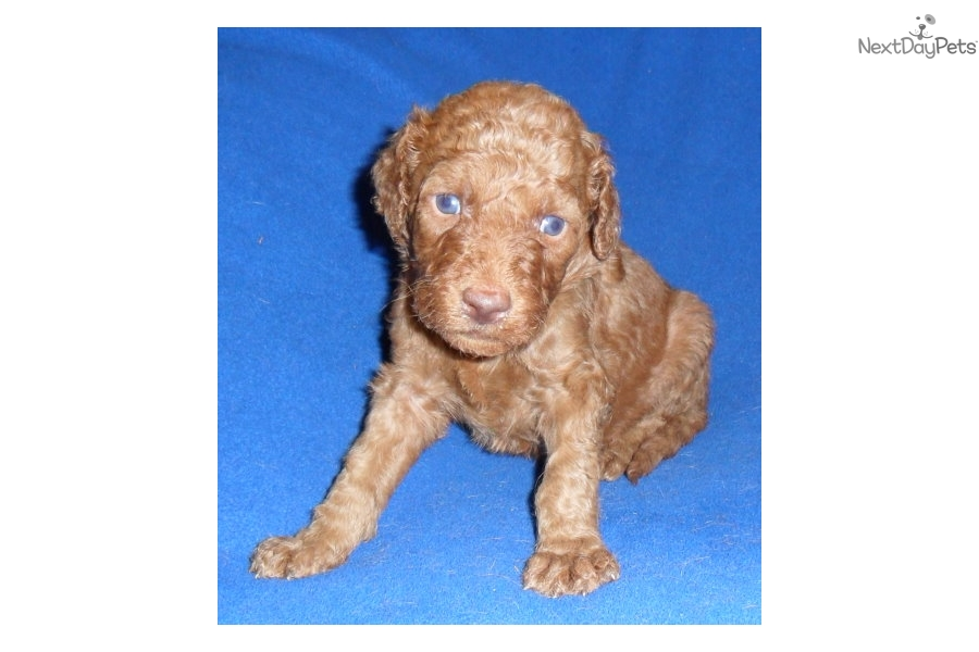 Clifford Labradoodle Puppy For Sale Near Akron Canton Ohio