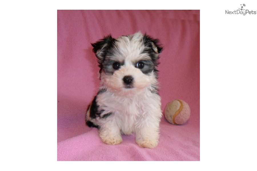 morkie puppies for sale in ohio