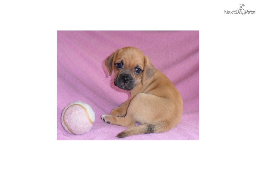 Leila: Puggle puppy for sale near Akron / Canton, Ohio