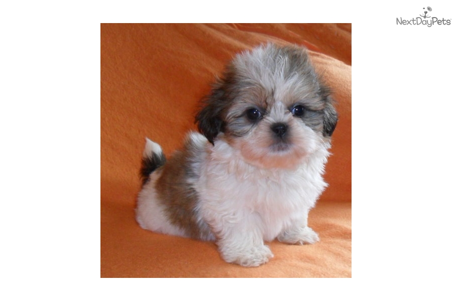 Gizmo Shih Tzu Puppy For Sale Near Akron Canton Ohio 247b1d26 9151