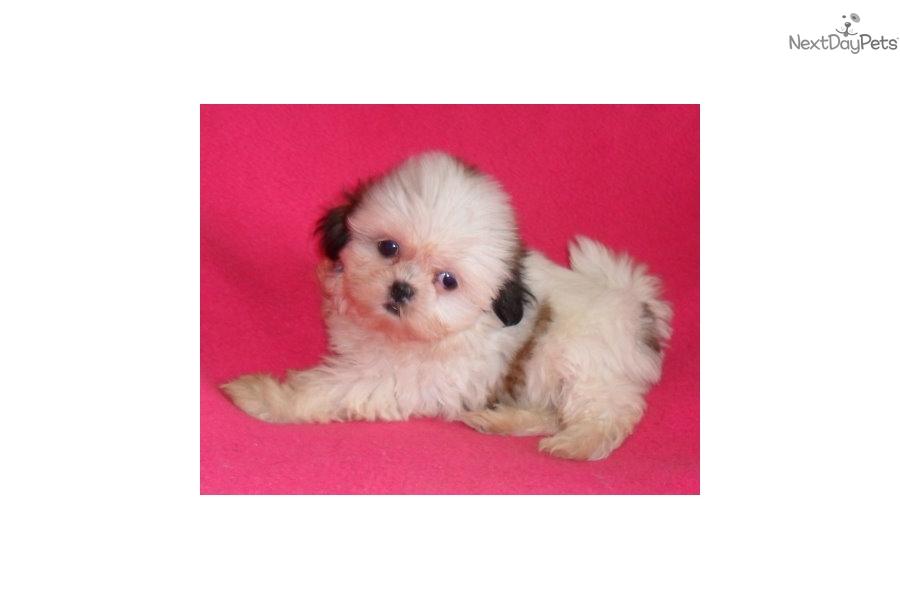 Gidget Shih Tzu Puppy For Sale Near Akron Canton Ohio