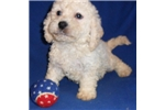 Picture of a Cockapoo Puppy
