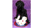 Picture of a Giant Schnauzer Puppy