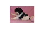 Picture of a Bich-Poo - Bichpoo Puppy
