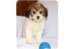 Picture of a Papoo Puppy