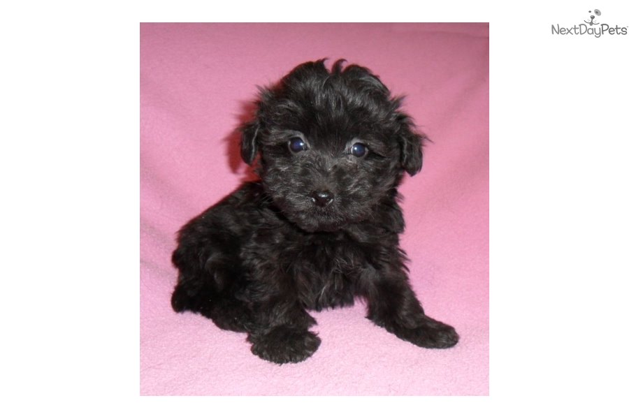 Ebony Yorkiepoo Yorkie Poo Puppy For Sale Near Akron Canton