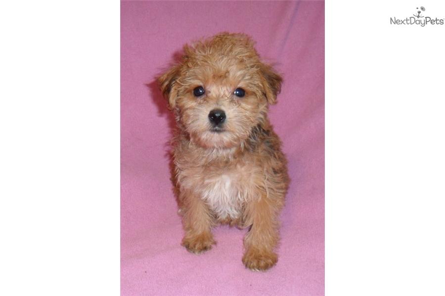 Garnet Yorkiepoo Yorkie Poo Puppy For Sale Near Akron Canton