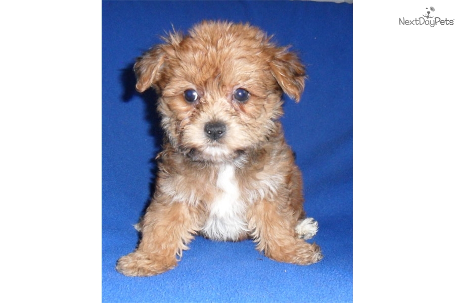 Willy Yorkiepoo Yorkie Poo Puppy For Sale Near Akron Canton