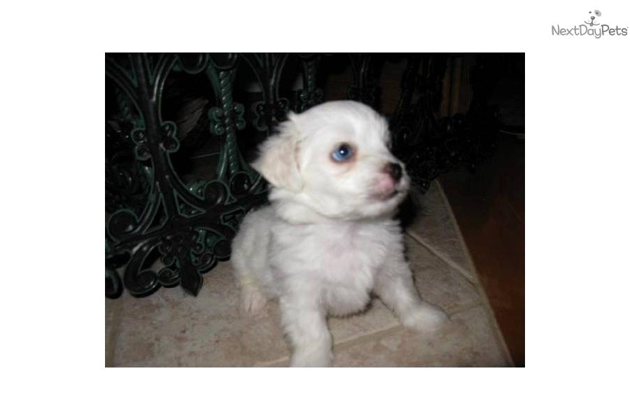 Meet Sky A Cute Malti Poo Maltipoo Puppy For Sale For