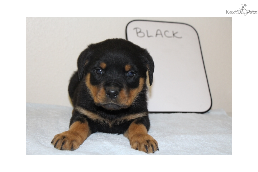 Vom Blockhaus Rottie Rottweiler Puppy For Sale Near Southeast
