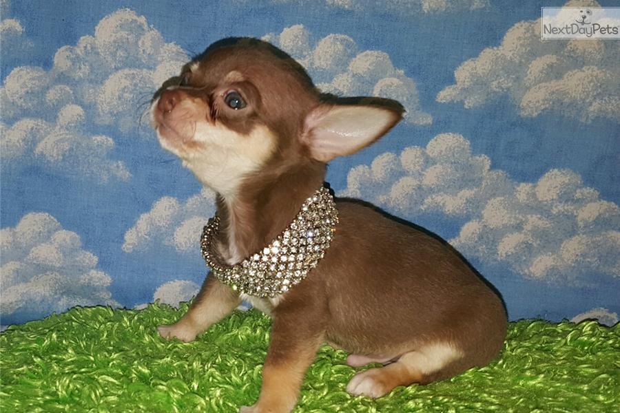 Teacup Applehead: Chihuahua puppy for sale near Mcallen / Edinburg