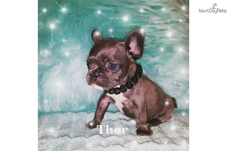 Blue Frenchies: French Bulldog puppy for sale near Mcallen
