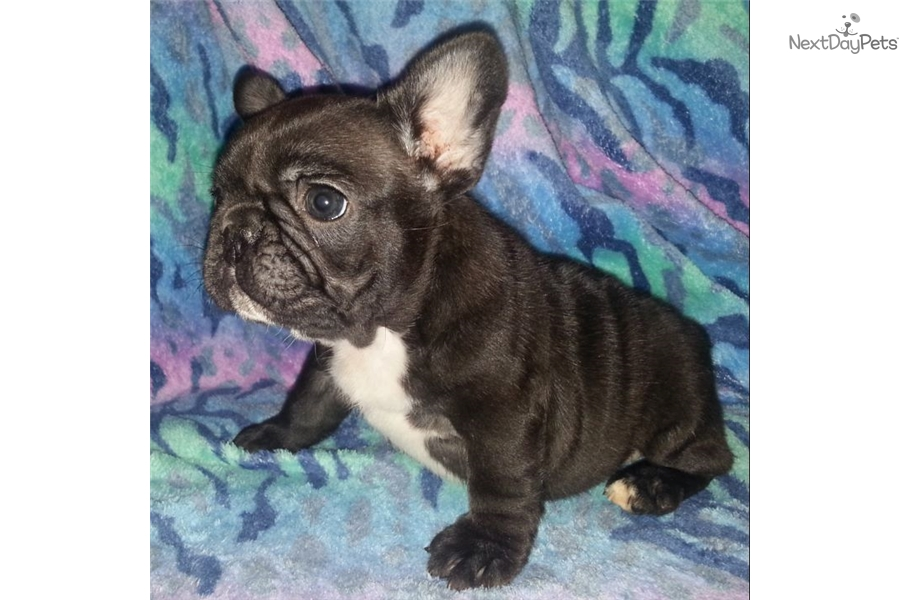 french bulldog breeders texas french bulldog pups french bulldog puppy for sale near 4007