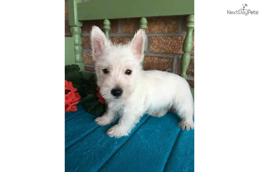 None: West Highland White Terrier - Westie puppy for sale