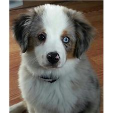 View full profile for Leading Star Miniature & Toy Australian Shepherds
