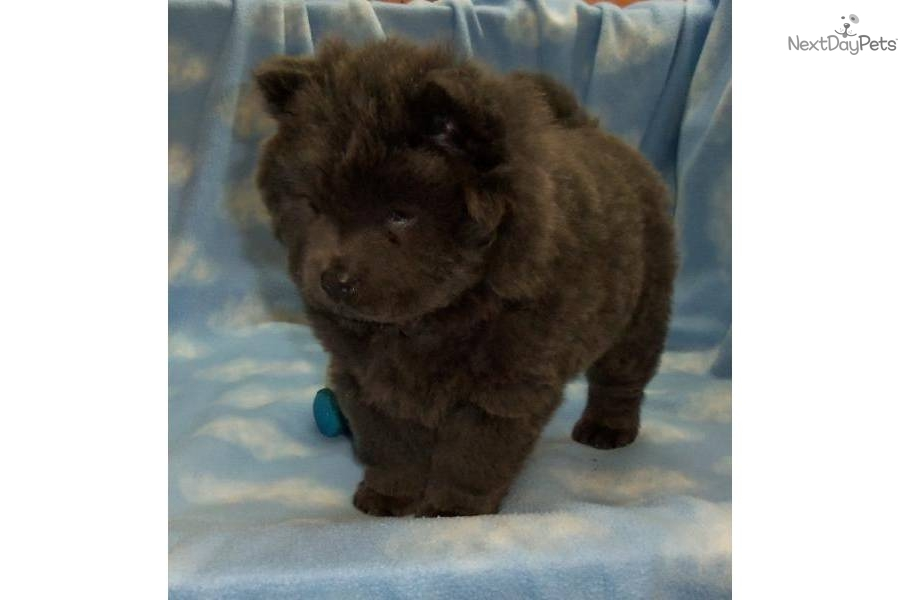 Pictures of Blue Chow Chow Puppies - #rock-cafe
