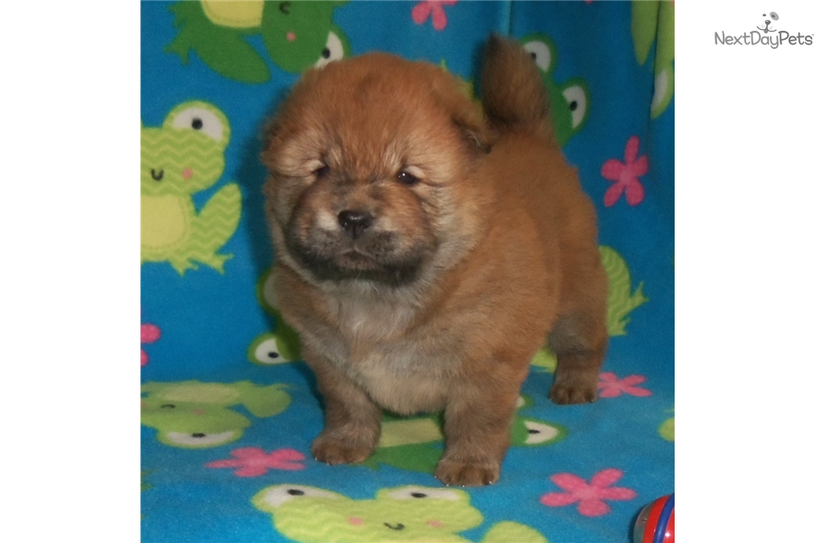 Rocky: Chow Chow puppy for sale near Columbia / Jeff City