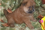 Picture of a Chow Chow Puppy