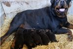 Picture of AKC Rottweiler PURPLE JLPP CLEAR