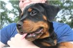 Picture of AKC Rottweiler PINK Female JLPP CLEAR