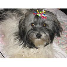 View full profile for Dixies Finest Havanese