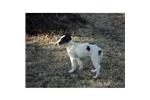 Picture of a Borzoi Puppy