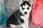 Siberian Husky for sale