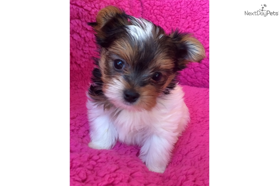 yorkie oklahoma maybeline yorkshire terrier yorkie puppy for sale near 401