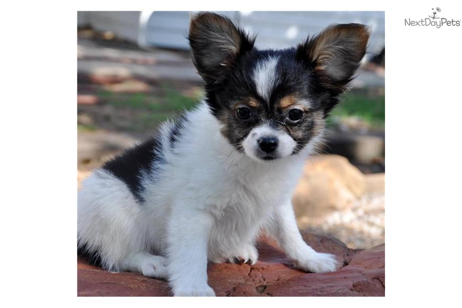Meet Tri Color Male A Cute Papillon Puppy For Sale For