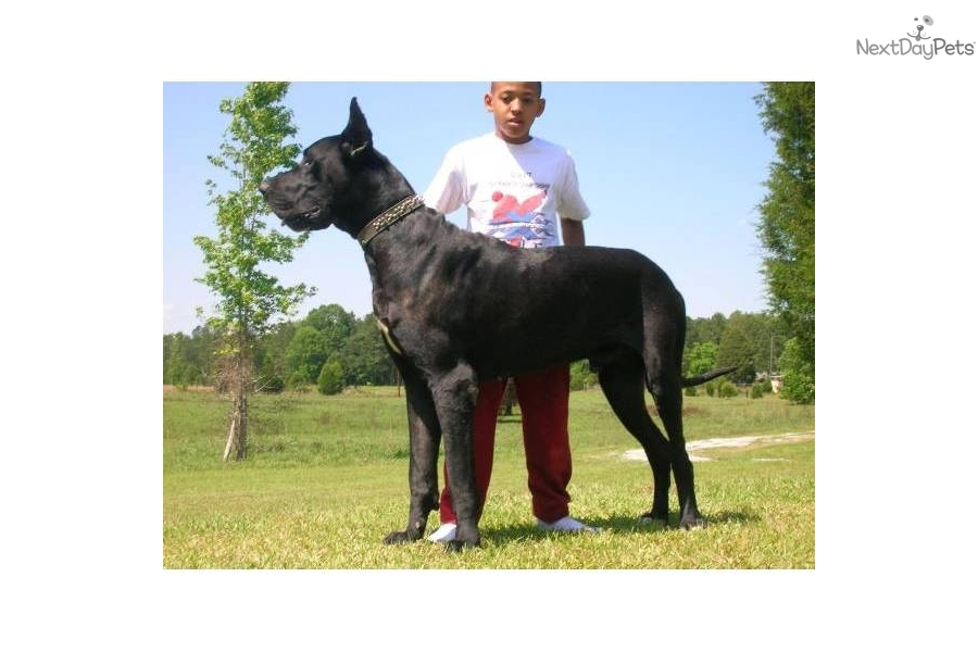 Puppies For Sale From Infinity Kennel Great Danes Member
