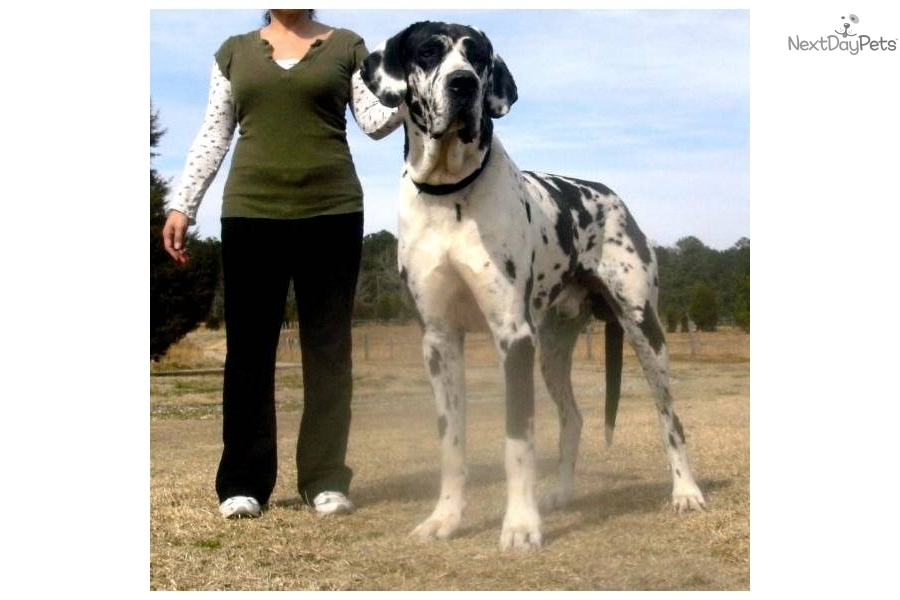 Great Dane Dog Food For Puppies