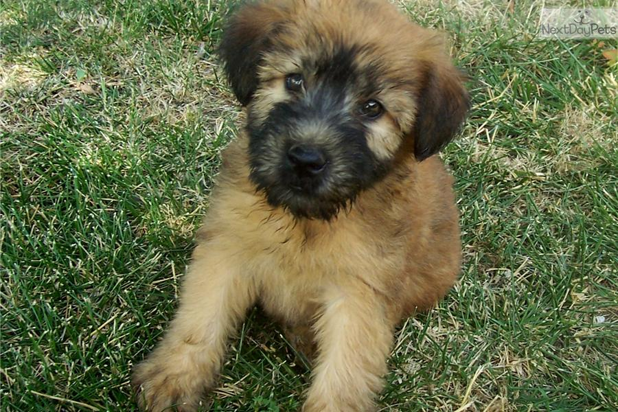 Soft Coated Wheaten Terrier puppy for sale near ...