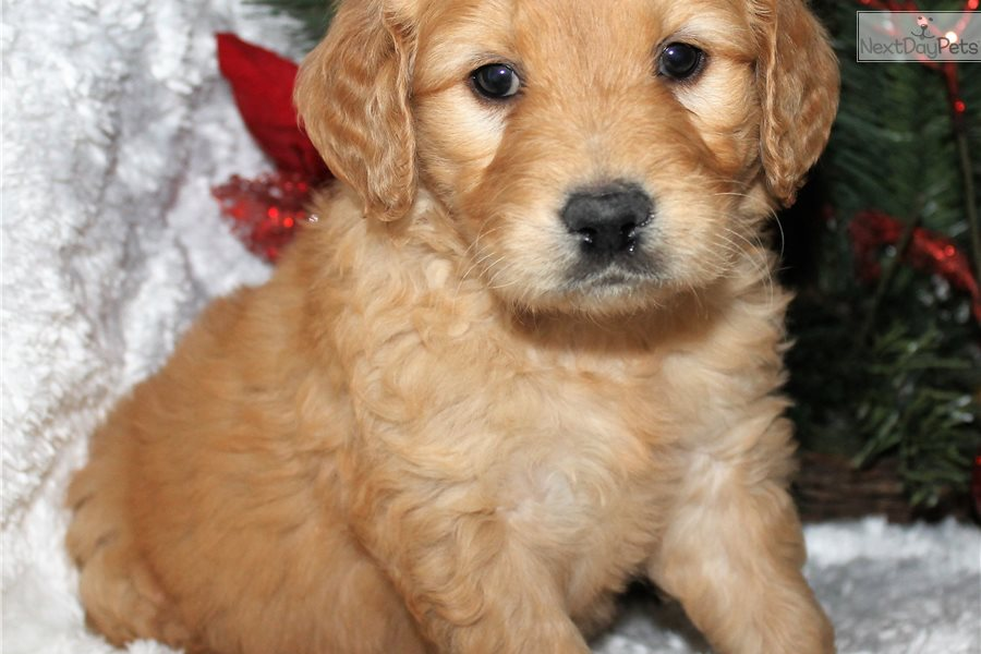 Accolades and breeding experience for your Cavapoo breeder
